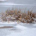 Frozen Reeds by Julie Palencia