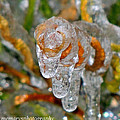 Frozen Spiral by Mary Williamson