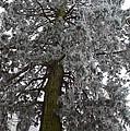 Frozen Tree 2 by Felicia Tica