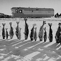 Frozen Walleye Pike Fish, Stizostedion by Thomas J. Abercrombie