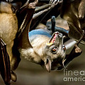 Fruit Bat Fedding Time by Em Witherspoon