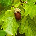 Fruit Of An Oak Tree Ripe In Autumn by U Schade