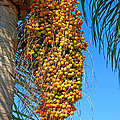 Fruit Of The Queen Palm by Donna Proctor