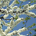 Fruit Tree Blooms by TouTouke A Y