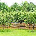 Fruit Trees by Tom Gowanlock