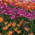 Fruity Tulips by Susan Herber