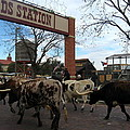 Ft Worth Trail Ride At Ft Worth Stockyard by Amy Hosp