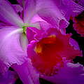 Fuchsia Cattleya Orchid Squared by Julie Palencia