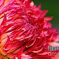 Fuchsia Flames by Susan Herber