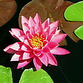 Fuchsia Pink Water Lilly Flower Floating In Pond by Amy McDaniel