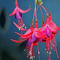 Fuchsia by Tony Murtagh