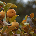 Fuju Persimmons In The Tree by Mick Anderson