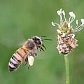 Full Basket Of Plantain Pollen by Lucinda VanVleck