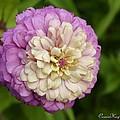 Zinnia In Full Bloom by Cassandra Moll