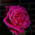 Full Bloom Morning Rose by Joe Gartner