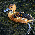 Fulvous Whistling Duck by Barbara Bowen