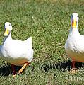 Fun Ducks by Carol Groenen