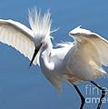 Fun Snowy Egret by Carol Groenen