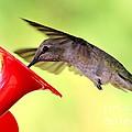 Fun Summer Hummingbird by Carol Groenen