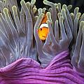 Fun Tropical Clownfish Nemo Image Bright And Colorful Home Or Office Decor by Brandon Cole