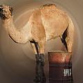Funny Beduin Camel Talk  by Colette V Hera  Guggenheim