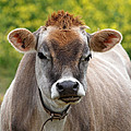 Funny Jersey Cow -square by Gill Billington