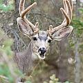 Funny Mule Deer Buck Portrait With Velvet Antler by Stephan Pietzko
