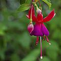 Fuschia Flower by Ron White