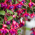 Fuchsia Spilling Over  by Heather Applegate