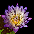 Fuscia Water Lily by Patton Imagery