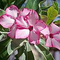Fushia Oleander Near Phoenx Arizona 2 by Douglas Barnett