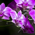 Fushia Orchid by Penny Lisowski