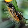 Fuzzy Caterpillar by Peggy Franz