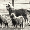 Fuzzy Ponies by Alice Gipson