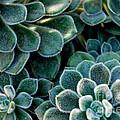 Fuzzy Succulent Leaves by Nancy Mueller