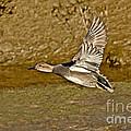Gadwall Drake In Flight by Anthony Mercieca