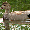 Gadwall by Frank Townsley