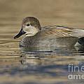 Gadwall On Icy Pond by Bryan Keil