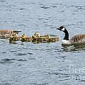 Gaggle Of Geese by Bob Phillips