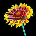 Gaillardia Arizona Sun by Dave Mills