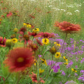 Gaillardia Coreopsis And Pointed Phlox by Tim Fitzharris