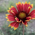 Gaillardia by Crissy Boss