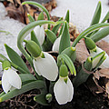 Galanthus Nivalis Snowdrops by Robert Speziale