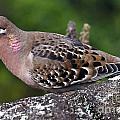 Galapagos Dove Galapagos Islands National Park Santa Cruz Island by Jason O Watson