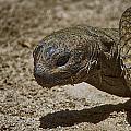 Galapagos Giant Tortoise by Douglas Barnard