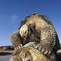 Galapagos Giant Tortoise Mating Alcedo by Tui De Roy