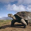 Galapagos Giant Tortoise On Alcedo by Tui De Roy