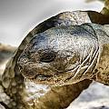 Galapagos Giant Tortoise V2 by Douglas Barnard