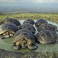 Galapagos Giant Tortoises Wallowing by Tui De Roy
