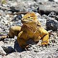 Galapagos Iguana On The Move by Allan Morrison